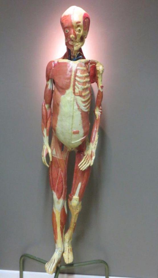 Анатомический манекен. Франция, начало XX в.